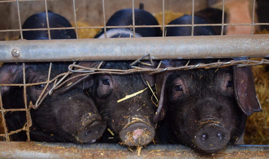 Wer zahlt den Preis für industrielles Fleisch?